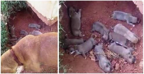 Maternidade exemplar – Ela escondeu seus 9 filhotes em uma vala para protegê-los de seu dono cruel