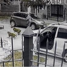 Dois Cachorros Salvam seu Dono de um Assalto Violento Quando ele Saia do carro – O vídeo é de impressionar!