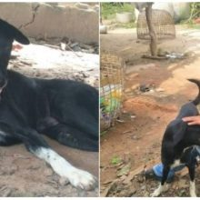 Cão com Deficiência Resgata Bebê Enterrado Vivo Por Mãe Adolescente!