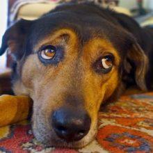 Descobrem Porque os Cães Fazem Esse Olhar Triste que Move e Comove os Seres Humanos!