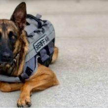 Este Cachorro foi Abandonado Por seu Dono. Agora Ela está Prosperando Como um Cão Policial.