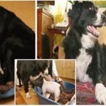 Molly, o Cão que Produziu Leite para Amamentar um Filhote de Porco Fraco que Precisava.