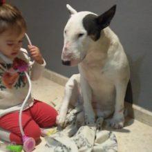 Adorável Criança de 2 anos Adora Brincar de Médico com seu Bull Terrier Muito Gentil – ela é uma Paciente!
