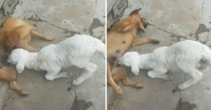 Bizarro Momento – Com Fome Cordeiro Mama Leite de Cachorro Como se Fosse os de sua Mãe!