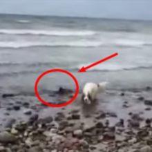 Cão Salva Bebê Golfinho de Ficar Encalhado na Praia – Surpreendente!