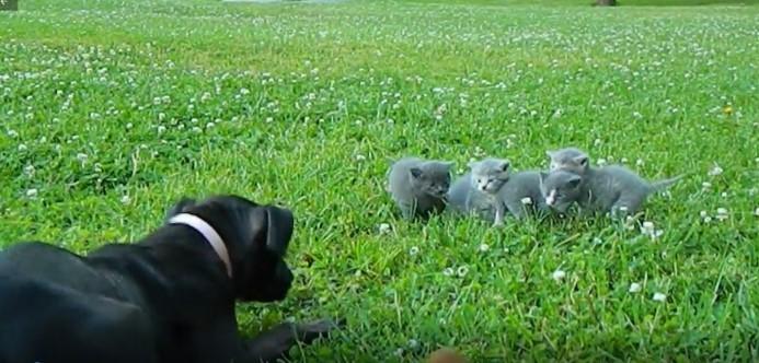 Chihuahua Minúsculo Faz Tentativa Ousada de Proteger os Gatinhos de um Cão Maior
