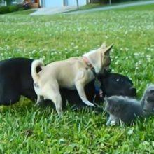 Chihuahua Minúsculo Faz Tentativa Ousada de Proteger os Gatinhos de um Cão Maior!