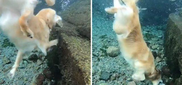 Golden Retriever Especialista em Mergulho, Mergulha sem Esforço para o Fundo do Mar e Encanta Todos.