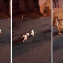Momento Hilário – Golden Retriever Intervém Para Parar seu Amigo Gato de Entrar em uma Briga Antes Mesmo de Começar!