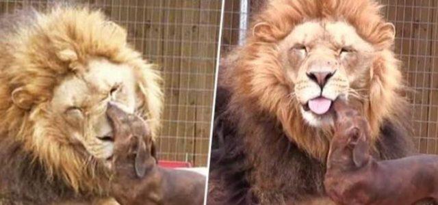 INACREDITÁVEL – Leão e Cão Compartilham um Vínculo Especial, e Deixam Todos Estarrecidos!