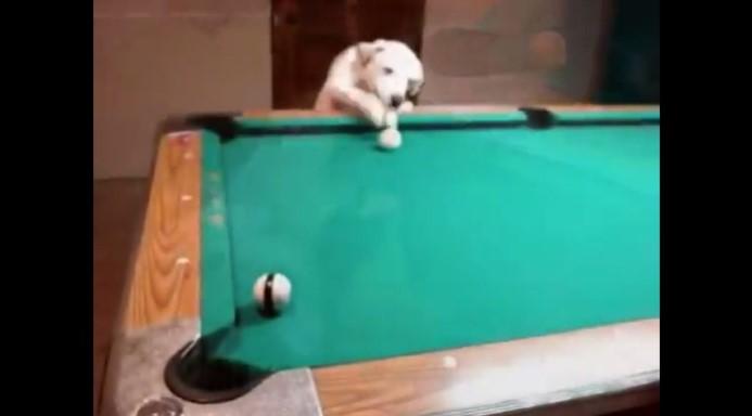O Melhor Cão a Jogar Bilhar do Mundo