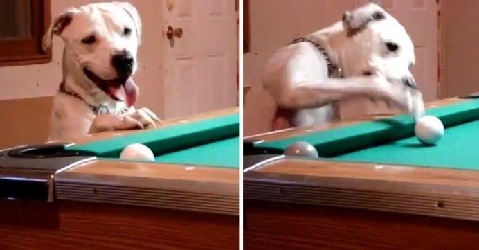"""Halo, o Cão, é Apelidado de """"O Melhor Cão a Jogar Bilhar do Mundo"""" Pelas suas Impressionantes Habilidades na Sinuca."""