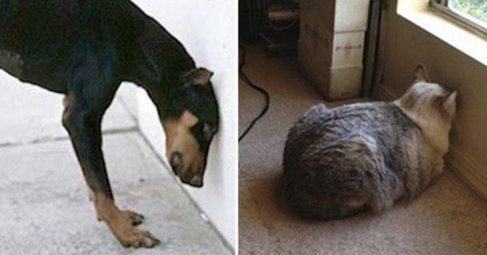 Se seu Animal de Estimação Pressionar sua Cabeça Contra a Parede, Não Ignore – Pode ser um Distúrbio Neurológico