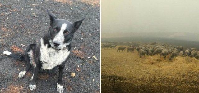 Cão herói salva rebanho de ovelhas de incêndios florestais!