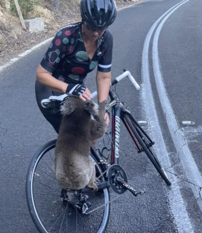 Exaustos, Coalas Emergem dos Incêndios Florestais e Se Aproxima os Ciclistas Implorar Por Água.
