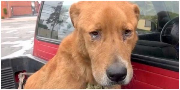 Cão Abandonado por sua Família é Encontrado Deprimido na rua e Implorando por Comida