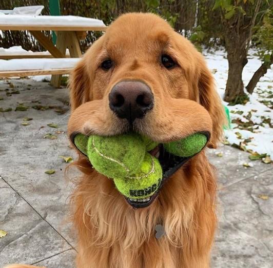 Cão segura seis bolas de tênis na boca e quebra o recorde mundial do Guinness