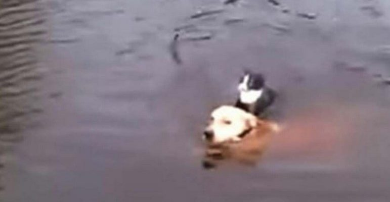 Cão Salva Vidas – Cão herói pula no rio para salvar gato que estava se afogando.