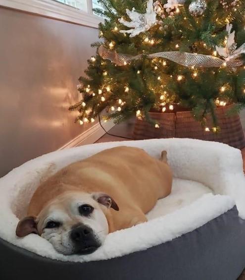 Cadela de 12 anos nasceu de uma mistura de Pit Bull e Boxer e paciência é o seu forte. Metade de sua vida foi passada dentro de um abrigo.