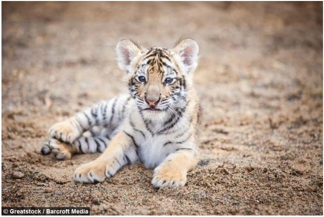 Filhote de Tigre Que foi Rejeitado Pela Mãe Encontra Amizade Inusitada em Um Filhote de Cachorro