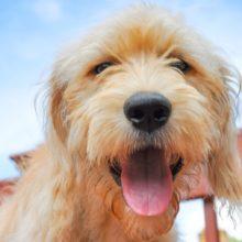 Holanda Ganha o Título de Primeiro País Sem Cachorro Abandonados, Sem Sacrifícios de Animais.