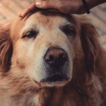 Um cachorro nunca morre, ele está apenas descansando em seu coração.