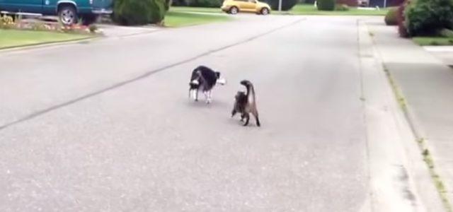 """Gato """"super-herói"""" Defende Seu Amigo Cachorro Contra o Valentão do Bairro."""