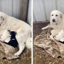 Nobre cadela alimenta cabra recém-nascida que foi rejeitada por sua mãe.