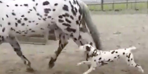 O cão dálmata acredita que a égua é sua mãe e a seguirá até que ela esteja convencida disso