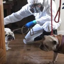 Voluntários se unem para resgatar animais de estimação de pessoas mortas por coronavírus