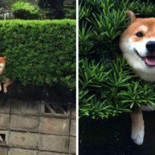 Cachorro Preso em Arbusto Finge que Nada Aconteceu e Continua Sorrindo