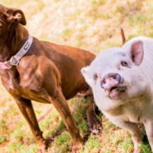 Porquinho e Pit Bull Procuram um novo lar após a morte do proprietário