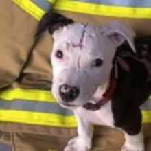 Bombeiro Encontra Pitbull Quase Morto em Incêndio faz Respiração Boca a boca e Salva sua Vida