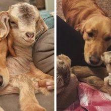 Cachorro Adota Cabrinhas Resgatadas Como Seus Filhotes
