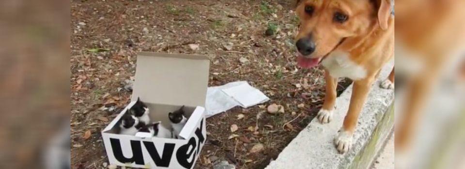 Cão Ajuda a Resgatar Gatinhos Abandonados em Caixa e se Torna seu Pai Adotivo