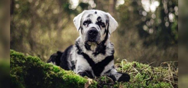 Conheça o Labrador de Aparência Única e Marcante Que Está Apaixonando a Todos