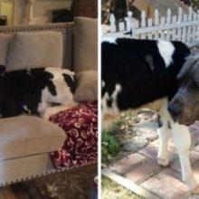 Essa Vaquinha foi Criada com 3 Cães e Acha que Também é um Cachorro