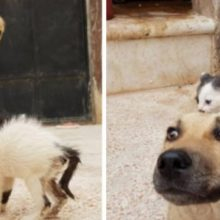 Gatinho Órfão Encontra Cão que Perdeu sua Ninhada e Agora eles são Adoráveis Juntos