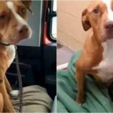 Inseparáveis – Pit bull e Chihuahua que Moravam em Abrigo São Adotados Juntos