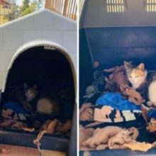 Pitbull de Bom Coração Oferece Sua Casa Para Gatinha de Rua dar a Luz