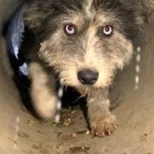 Cão Implora a Socorristas para Salvar seus Filhotes em Tubo de Drenagem
