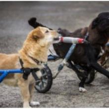 Hospital Veterinário dá Cadeiras de Rodas para Todos os Cachorros Deficientes
