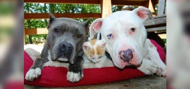 Pit Bulls superam passado triste e hoje se dedicam a cuidar de gatinhos cegos