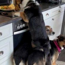 Vídeo Mostra Trio de Cães Roubando Comida de Forma Acrobática