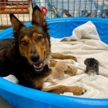 Cachorro Enlutado Adota Gatinhos Órfãos e os Trata Como Seus Próprios Bebês