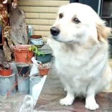 Cachorro faz a cara mais triste para que seu dono não vá trabalhar e fique com ele
