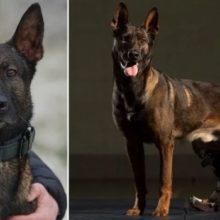 Cachorro que Enfrentou Tiros de Bandidos para Salvar Soldados Receberá a Maior Homenagem Militar para Animais