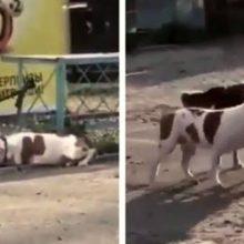 Cãozinho de rua solta um Pit Bull que estava amarrado para poder brincar com ele