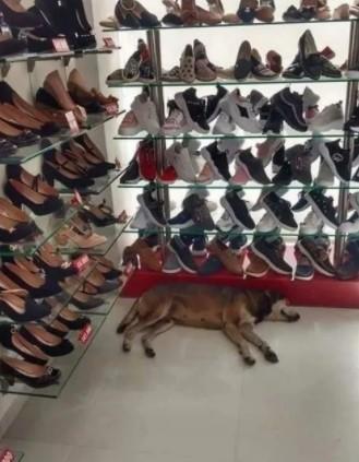 Cliente se Incomoda e Reclama de Cão deitado em Loja, Mas Dono Não Tira o Cãozinho de Lá