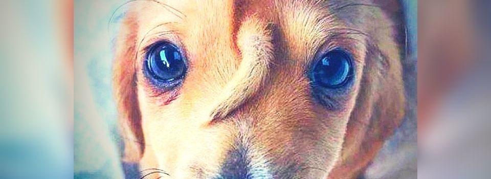 Fofura: cachorro nasceu com o rabo na testa, foi abandonado, e virou o queridinho de todos